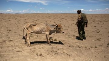 FILE PHOTO: A Kenyan soldier from the Rapid Deployment Unit looks at a cow which is dying from hunger, a few hundred meters from the official boundary of the Kenya-Ethiopia border in northwestern Kenya